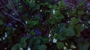 Chef's garden Strawberry plants