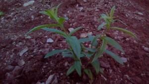 Chef's garden Lemon Verbana